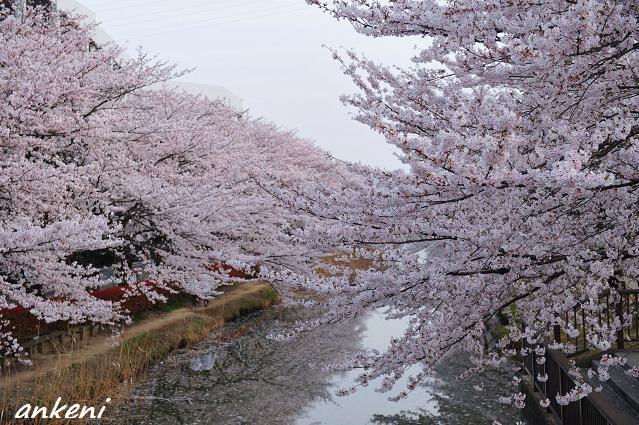2011.04.11 157  桜