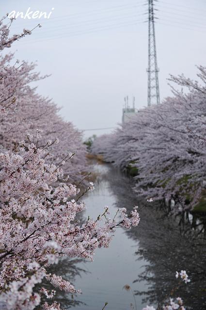 2011.04.11 170  桜