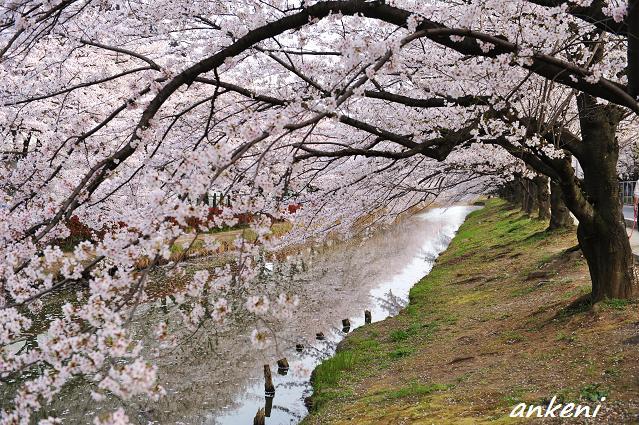 2011.04.11 173  桜