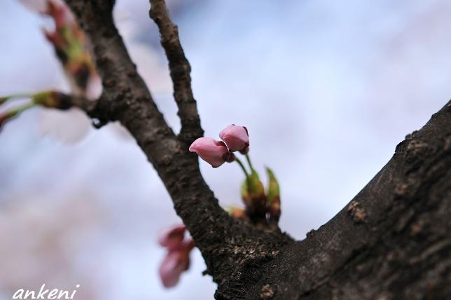 2011.04.11 272  桜