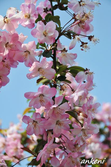 2011.04.16 037  桜