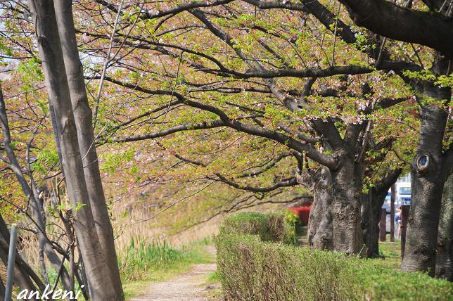 2011.04.16 050  葉桜