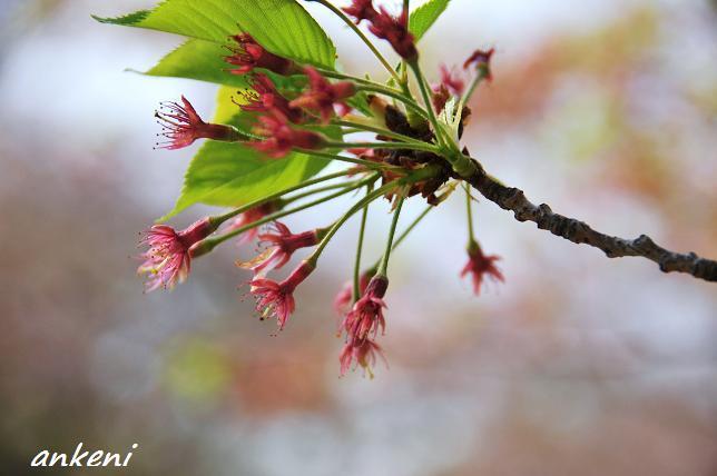 2011.04.16 053  桜