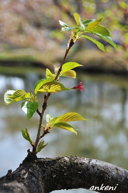 2011.04.16 055  桜