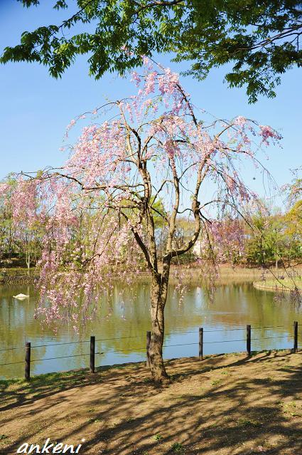 2011.04 051  しだれ桜