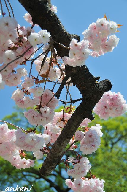 2011.04.24 006  八重桜