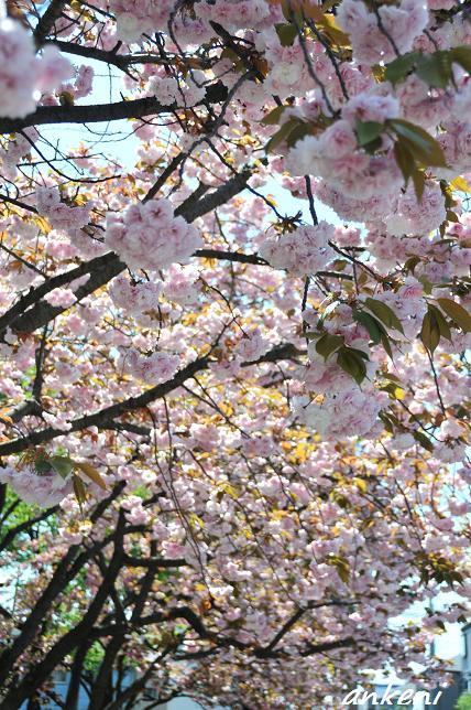 2011.04.24 012  八重桜