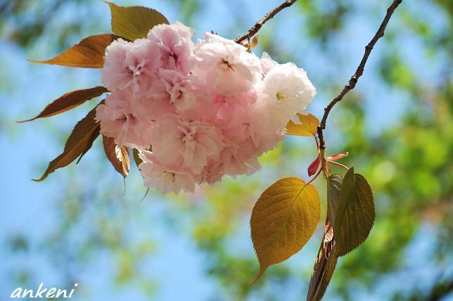 2011.04.24 015  八重桜