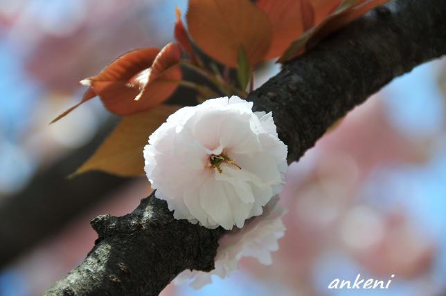 2011.04.24 019  八重桜