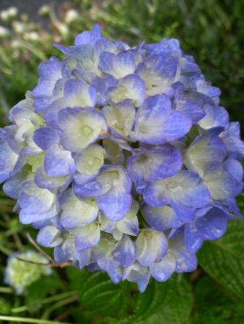 紫陽花青1