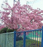 12年早咲き桜