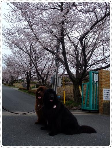 2011_0407sakura0016.jpg