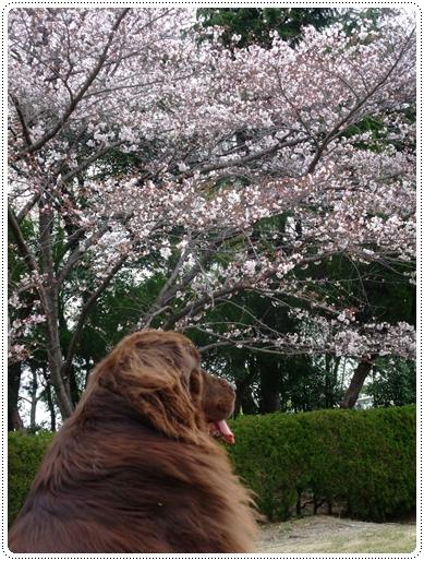 2011_0407sakura0031.jpg