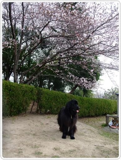 2011_0407sakura0044.jpg