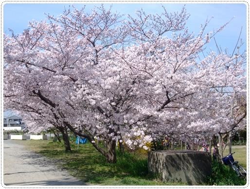 2011_0407sakura0051.jpg