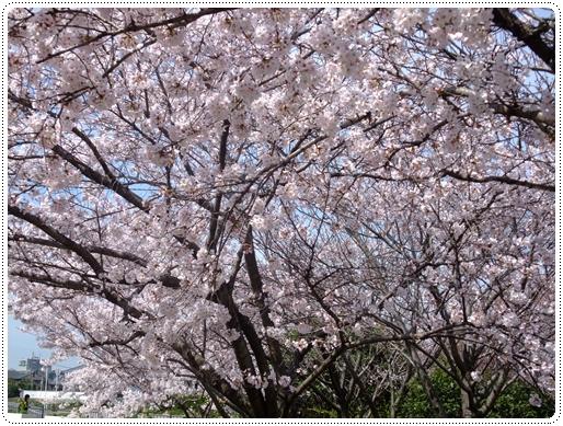 2011_0407sakura0052.jpg