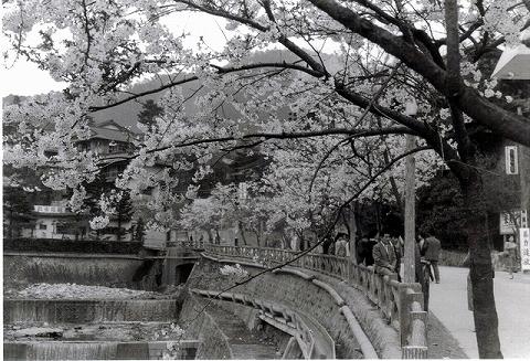 昭和40年代の有馬温泉の桜