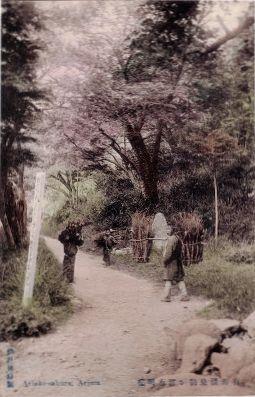 神戸後藤製有明桜の絵はがき