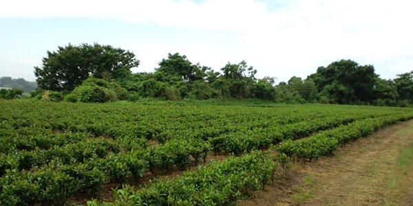 むらかみ茶畑カラー