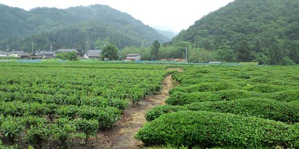 むらかみ茶畑常盤園