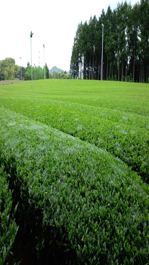 有機茶畑1