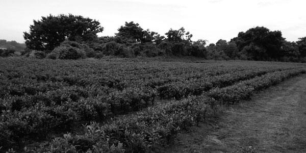 むらかみ茶畑