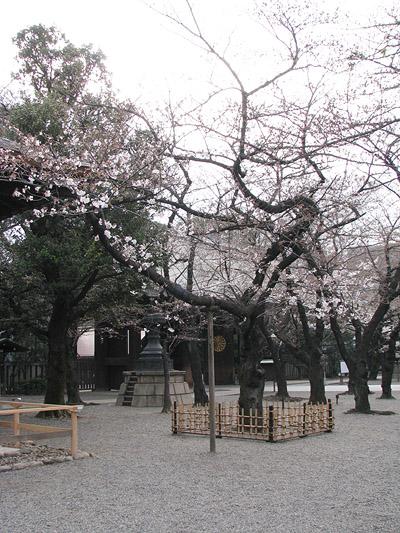 somei-yasukuni-2-400.jpg