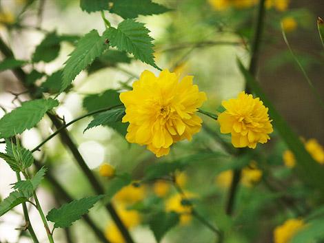 yaeyamabuki-470.jpg