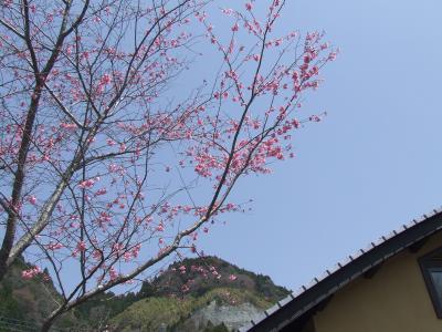 おかめ桜_convert_20110412122659