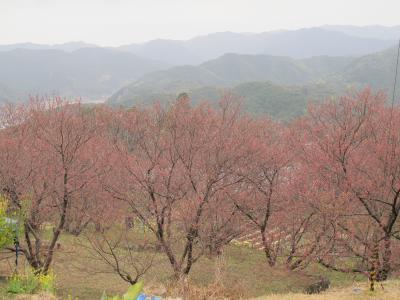 0301雪割桜3