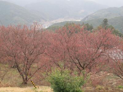 0301雪割桜2