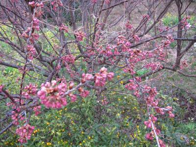 0301雪割桜1