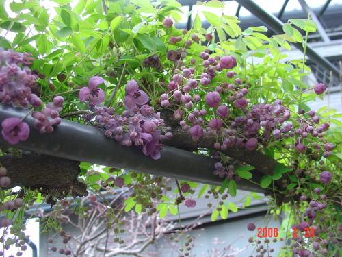200331・アケビの花