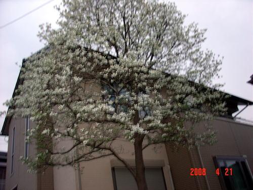200421・今朝の花木1