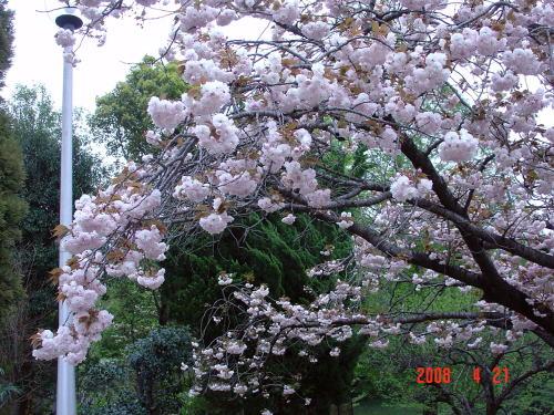 200421・今朝の花木3