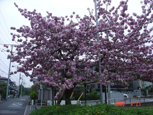 200421・今朝の花木6