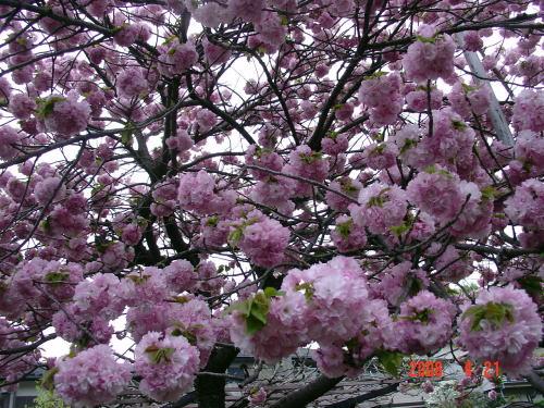 200421・今朝の花木7