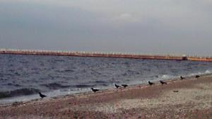 海岸に並ぶカラスたち