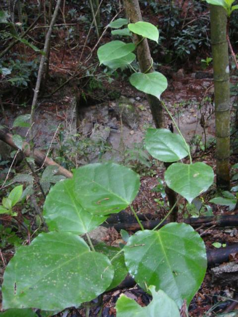 キジョランの葉