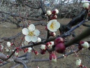 梅の花がほころびました