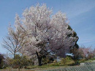 響が丘の桜