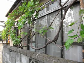 お隣は、葡萄で緑のカーテン