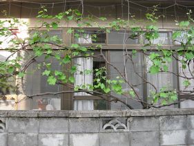 お隣のブドウ栽培