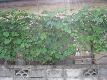緑のカーテン葡萄