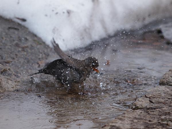 サンマリノの鳥水浴び中