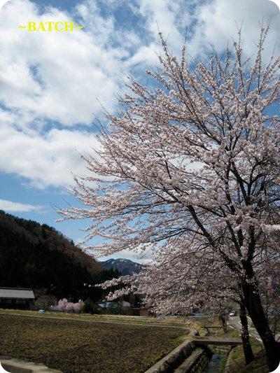 1104sakura1.jpg
