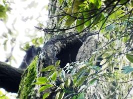 スダジイの樹洞
