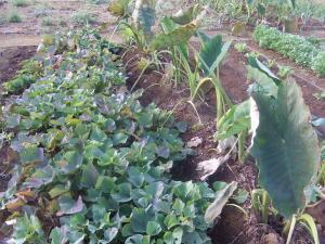 サツマイモ収穫前