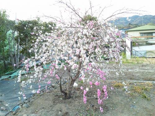 枝垂れ桃1