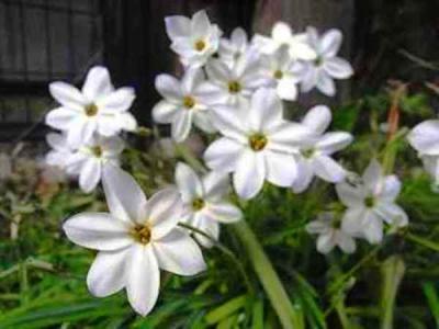 ハナニラ(花韮 )
